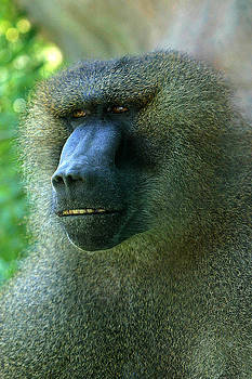 Gary Gingrich Galleries - Baboon7297