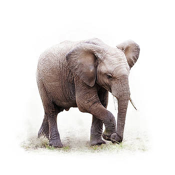 Baby African Elephant Isolated on White by Susan Schmitz