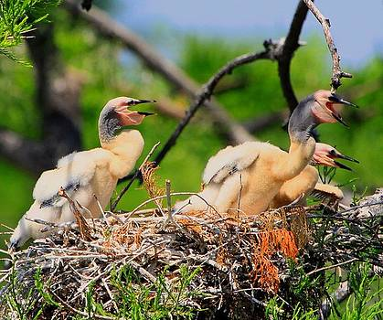 Barbara Bowen - Baby Anhinga Chicks