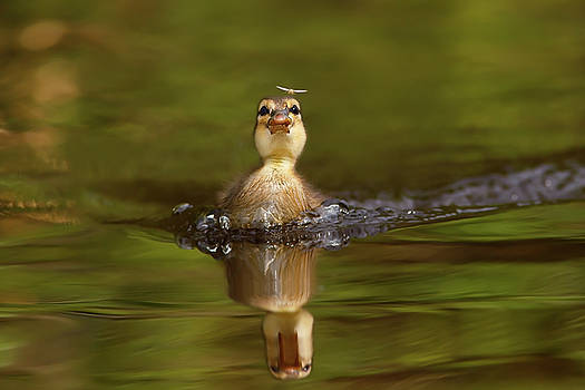 Baby Animal Series - Hunting Duckling by Roeselien Raimond