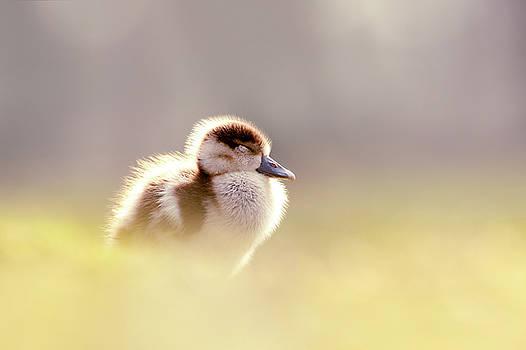 Baby Animals Series - Zen Gosling by Roeselien Raimond