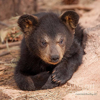 Baby Bear Portrait by Laurinda Bowling