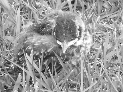Baby Bird 2 Blk N Wht by Paula Giampola