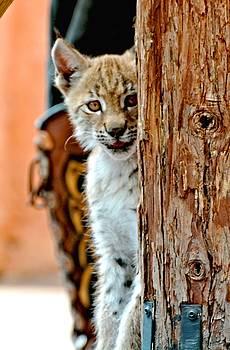 Baby Bob Cat by Amy McDaniel
