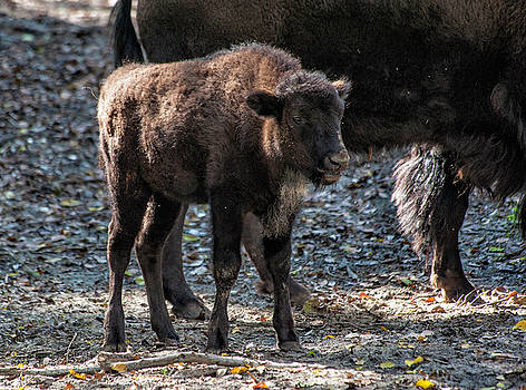 Baby Buffalo by Cathie Crow