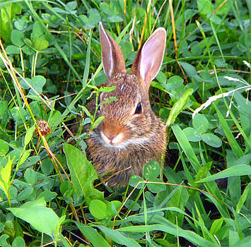 Baby Bunny by Harry Dusenberg