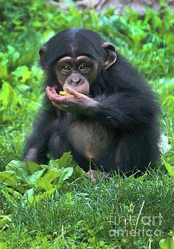 Gary Gingrich Galleries - Baby Chimpanzee-1 Year-9086
