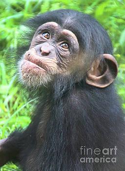 Gary Gingrich Galleries - Baby Chimpanzee-1 Year-9496