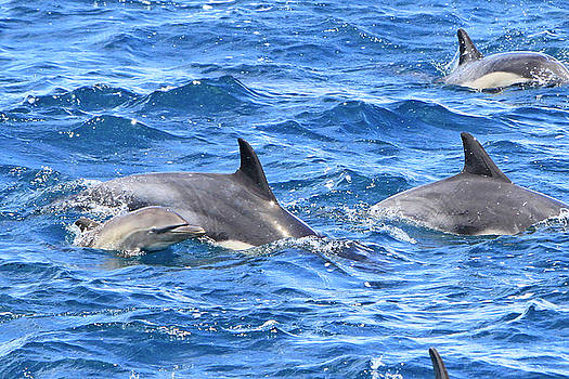 Baby Common Dolphin by Shoal Hollingsworth