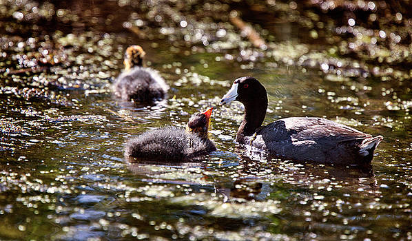 Baby Coot Waterhen by Mark Duffy