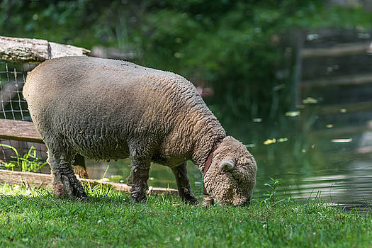 Terry DeLuco - Baby Doll Sheep Cuttalossa Farm PA