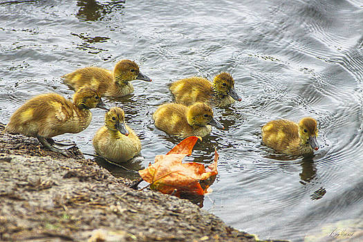 Baby Ducks and Autumn Leaf by Diana Haronis
