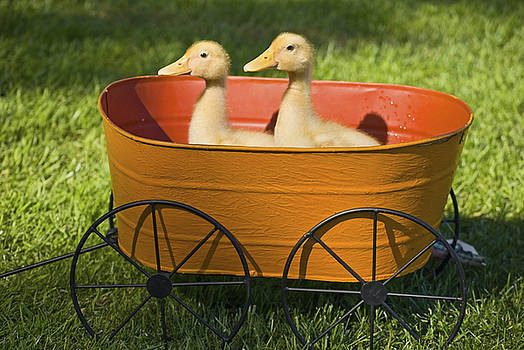 Baby Ducks in Planter by Andrew Kazmierski
