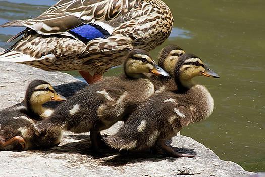 Jill Lang - Baby Ducks