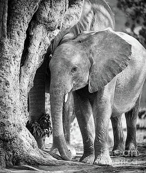 Tim Hester - Baby Elephant in Africa Black And White