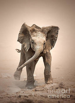 Baby Elephant mock charging by Johan Swanepoel