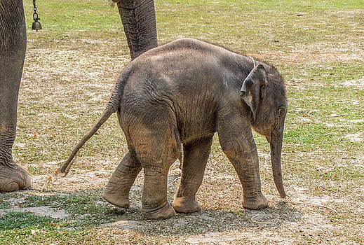 Baby Elephant, Thailand by Randy Straka