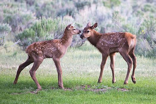 Baby Elk by Wesley Aston