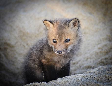 Baby Fox by Richard Suder