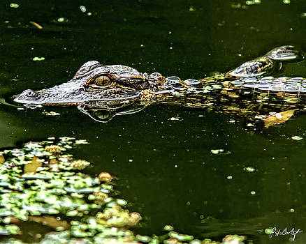 Baby Gator by Phill Doherty