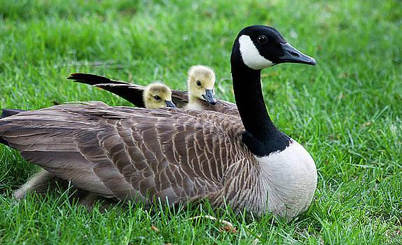 Jill Lang - Baby Geese