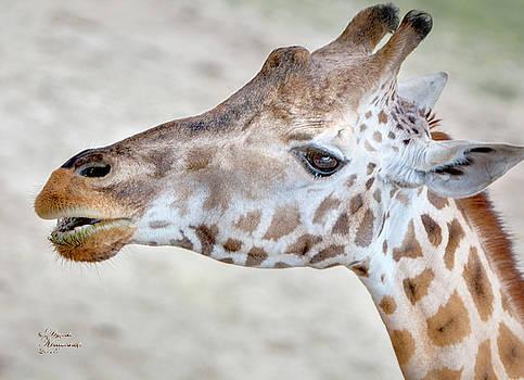 Baby Giraffe by David Millenheft