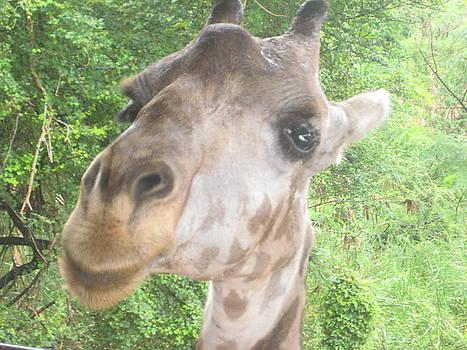 Baby Giraffe by Siddarth Rai