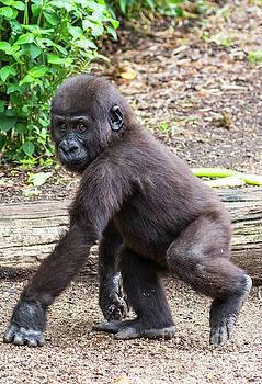 Baby Gorilla by Andrew Michael