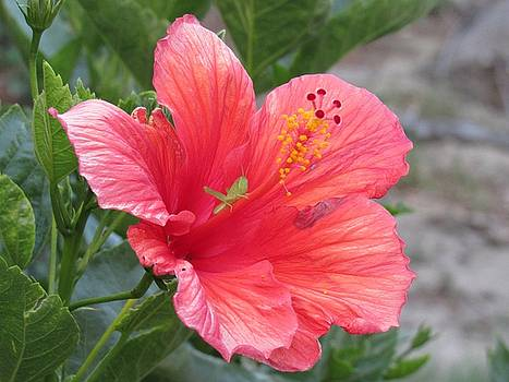 Baby Grasshopper on Hibiscus Flower by Nancy Nale
