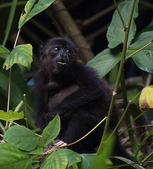 Baby Howler Monkey by L L