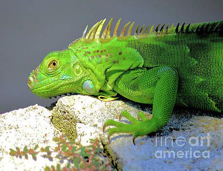 Baby Iguana by Debra Kewley