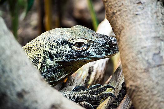 Baby Komodo Dragon by Scott Lyons