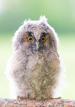 Baby Long-eared Owl by Janne Mankinen