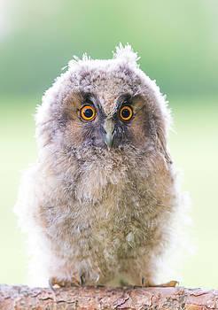 Baby Long-eared Owl by Janne Mankinen