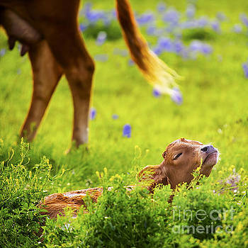 Baby Longhorn in Texas Bluebonnet Field by Katya Horner