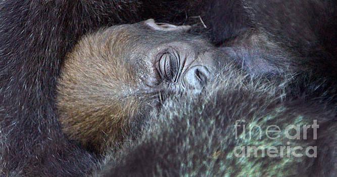 Gary Gingrich Galleries - Baby Lowland Gorilla - 3 1/2 weeks old
