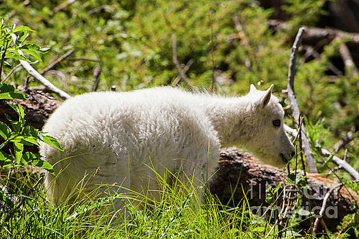 Baby Mountain Goat by Steve Triplett