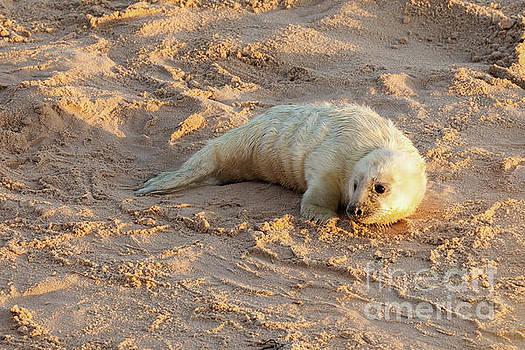 Simon Bratt Photography LRPS - Baby newborn seal pup on the beach
