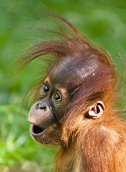 Baby Orangutan by Andrew  Michael