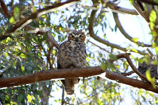Diana Haronis - Baby Owl