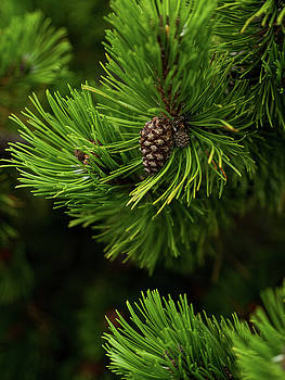 Baby Pine Cone by Whitney Leigh Carlson