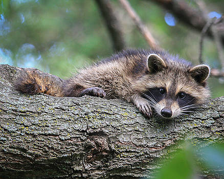 Baby Raccoon by Kimberly Kotzian