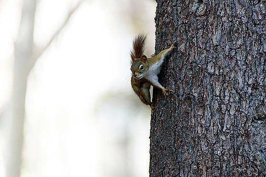Baby Red Squirrel by Bob Orsillo