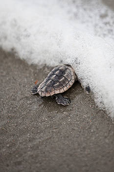 Baby Sea Turtle Meets The Ocean by Julie Bostian