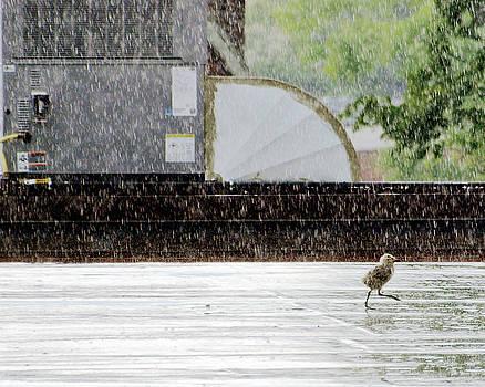 Baby Seagull Running in the rain by Bob Orsillo