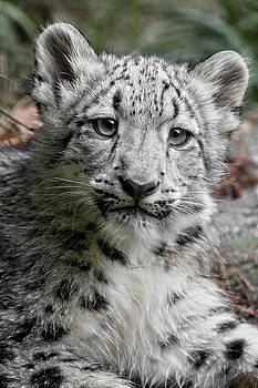 Baby Snow Leopard by Wes and Dotty Weber