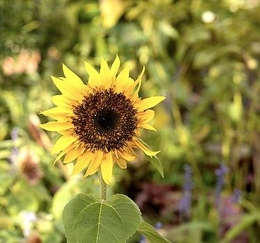 Baby Sunflower by Collette Rogers