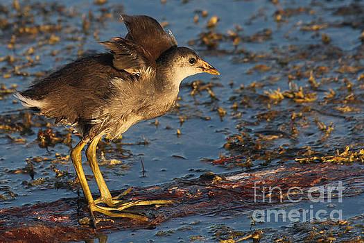 Baby Wings - Common Gallinule by Meg Rousher