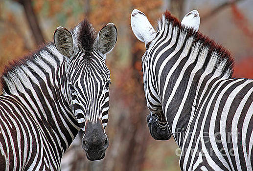 Back and forth, Zebras in Africa by Wibke W