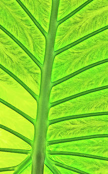 Back-lit Green Tropical Leaf Stem and Ribs Various Shades of Green 2 10232017 Colorado by David Frederick